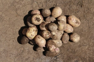 MALAWI | Value Chain Market Research for roots & tubers and vegetable